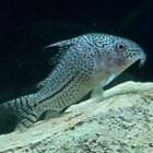 Meervallen � Siluriformes