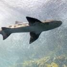 Het leven van een haai