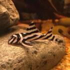 Hypancistrus Zebra (L046) - Zebrameerval