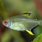 Hyphessobrycon pulchripinnis - Citroentetra