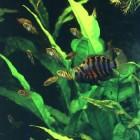 Cichlasoma nigrofasciatus - Zebracichlide