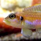 Lamprologus ocellatus - Slakkenhuiscichlide