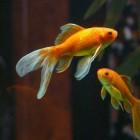De goudvis, populaire koudwatervis