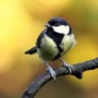 De koolmees, Parus major, een veel voorkomend vogeltje