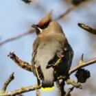 Pestvogel - invasiegast op Waddeneilanden