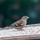 De vink, een oer-Hollandse vogel