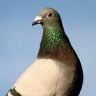 Natte ogen en andere oogproblemen bij duiven