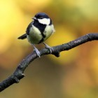 Vogels voeren, is pindakaas gezond voor vogels?