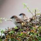 Huismussen, de straatjongens onder de vogels