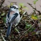 Staartmezen, innemende vogeltjes