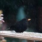 Merel Nederlands talrijkste broedvogel