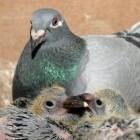 Ornitosecomplex en Luchtweginfecties bij duiven