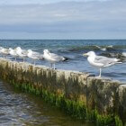 Meeuwen en meeuwenoverlast - afval etende zeemeeuwen
