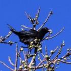 Vogels: de koekoek