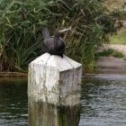 De aalscholver, een omstreden vogel