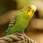 Nagels knippen bij de kanarie, parkiet of papegaai
