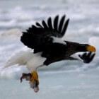 De Stellers zeearend, een enorme roofvogel