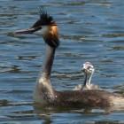 Vogels: duikers en futen