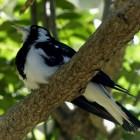 Vogels: de veldleeuwerik