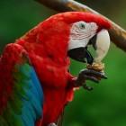 Groenvleugel ara, prijs en bijzonderheden
