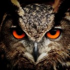 Vogels: uilen (strigiformes)