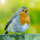 De hoogontwikkelde communicatie van zangvogels