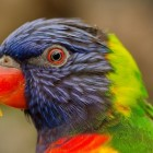 Dronken papegaaien in Darwin