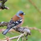 Wildvang van vogels: lucratief maar illegaal