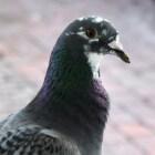 De duif: bescheiden maar groot in zijn veelzijdigheid