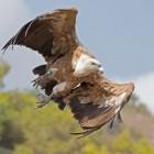 De vale gier, een indrukwekkende roofvogel