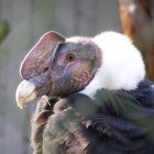 De Andescondor, de grootste roofvogel op aarde