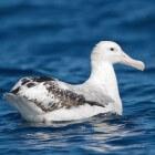 De albatros: Een bijzondere vogelsoort met enorme afmetingen