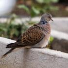 De duif: welke soorten komen er het meest in Nederland voor?