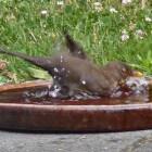 Wanneer hebben vogels bakjes met water nodig?