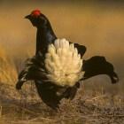Het korhoen, een bedreigde vogel in Nederland en België