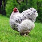 Voorkom vliegen bij kippen door kortwieken van vleugels