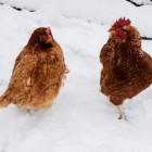 Verzorging van kippen in de winter
