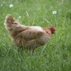 Soorten wormen bij kippen herkennen, behandelen en voorkomen