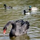 Cygnus Atratus: De zwarte zwaan