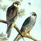 Boomvalk, Falco subbuteo
