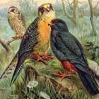 Roodpootvalk, Falco vespertinus