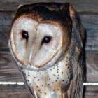 Kerkuil, Tyto alba