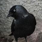 Kauw, Corvus monedula