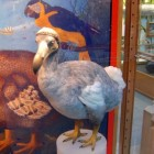 De dodo, uitgestorven en mythische vogel uit Mauritius