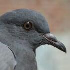 Vogels in de tuin - de duiven