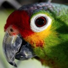 Met een papegaai heeft u een mooie vogel in huis