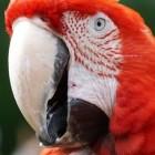 Een papegaai kopen of niet