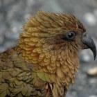 De Kea is een zeer bijzondere papegaai en aaseter