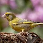 Vogels: het bouwen van een vogelhuisje