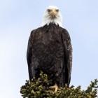 De adelaar - veel gezien als symbool